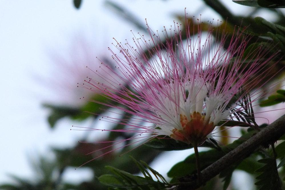 この花は何ですか? 2015 年 3 月 17 日、 6:27にネパール・ルンビ二で撮りました。