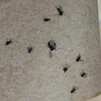 この虫が家の中で大量発生していて困っています。 小バエでもなく、蚊でもない小さな虫なんですが、なんの虫かわかる方いらっしゃれば教えてください。 また、この無視を駆除する方法もご存知の方がいらっしゃれ...