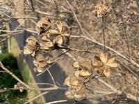 何の植物でしょうか。 種がはぜた後でしょうか。(画像が横向きになってしまったかも) 歩道に植えられていた1m位の丈の植物です。 よろしくお願いいたします。