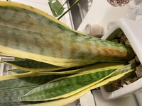 サンスベリアの葉が写真のようになってます。水やらずに放っておいていいものか、どのように寒いこの時期を過ごせばいいでしょうか?