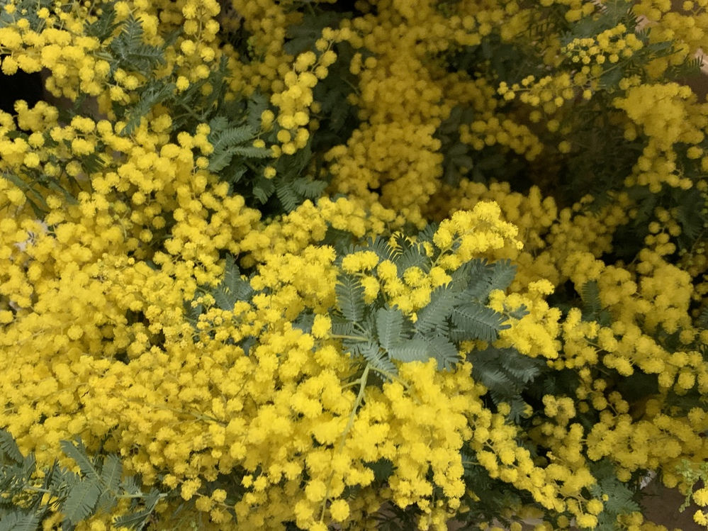 無農薬で育てられたミモザの切り花をたくさんいただきました。←画像 飾っていると、本などの紙の中にたまにいるような小さな一ミリくらいの少し黄色っぽいような虫が何匹か出てきました。ダニなのかアブラム...