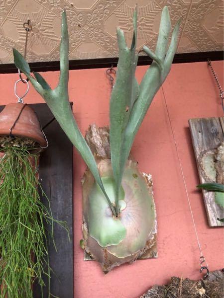 植物は色々育てていますが、 ビカクシダは初心者です。 友達からビカクシダを譲り受けることになったのですが 品種がわかりません。 わかれば育て方や板付方法も調べられます。 わかる方がいれば教え...
