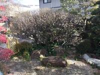 30年近く咲いていた梅の木の花が今年、大変少なくなったのは何故か教えていただけませんか。