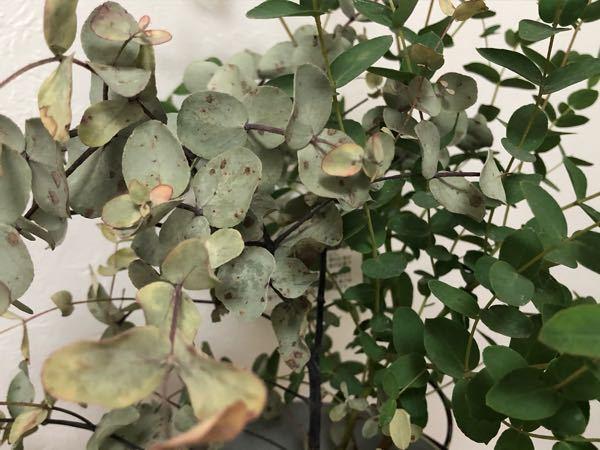 植物に詳しい人に質問いいですか、?!!! 12月の終わり頃に購入した「ユーカリ グニー」 のことなんですが、下の写真のように半分は綺麗な緑でもう半分は枯れて白くなってきていて、 その白く枯れてき...