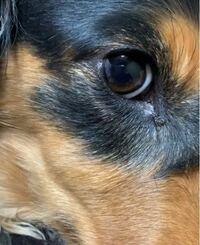 ミニチュアダックスを飼ってます。 愛犬の目頭が写真のように黒い膜?のようなものがあります。気になって仕方ありません。これはなんでしょうか?