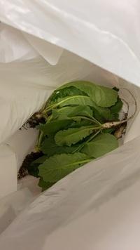 家庭菜園 大根の間引き 農薬  家庭菜園でミニ大根を育てています。混み合ってきたので間引いたのですが、これは食べられますか? 種の説明にはキャプタン、イプロジオンと書いてあります。種まき発芽から2ヶ月...