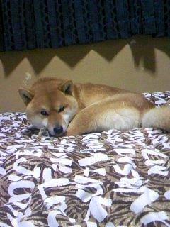 うちの柴犬に布団を占領されて寝場所がありません。 どうしればいいでしょうか?