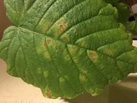 ウンベラータの葉が茶色に変色 リビングダイニングに置いているウンベラータの葉が、まだらに茶色く変色しているのを発見しました。よく見ると、複数枚、同じ様な状態になっています。  環境について ①室温 ...