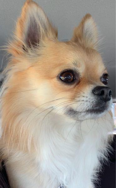 この犬の犬種は何だと思われますか?