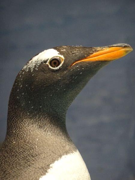 ペンギンについて質問です。 この前水族館に行きペンギンの写真を撮っていたら ペンギンの目に輝きが無いことを知りました。 海の中にいる時はゴーグルの役割を果たす膜が影響しているそうなんですが陸地...