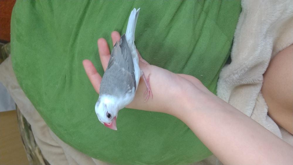 文鳥の雛(1ヶ月半)の体重が増えない 飼育している文鳥の体重が増えません。現在18g前後で、増えたり減ったりを繰り返しています。 病院の方も念の為2箇所別のところで診てもらいましたが、痩せている...