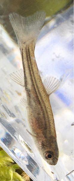 今日、イワナがいるような渓流で捕まえた稚魚なのですが,これはタカハヤでいいんでしょうか?? 少なくともアブラハヤかタカハヤのどちらかですよね?