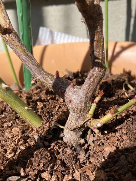 バラの芽についておしえてください。 バラの茎?の根本から小さな芽が沢山出ています。 小さな赤い点々とか、右側の小さな緑の芽がそうです。 これはこのまま放っておいていいですか? 四年目のピエール...