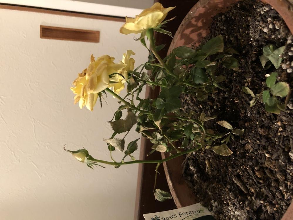 室内、日の当たらない玄関で育てているミニバラです。 1ヶ月ほど前にホームセンターで購入しましたが、咲いてる花が弱り、蕾も咲かず、葉も枯れたようになってきました。 冬場なので水くれは控え目ですが...