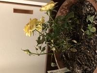 室内、日の当たらない玄関で育てているミニバラです。 1ヶ月ほど前にホームセンターで購入しましたが、咲いてる花が弱り、蕾も咲かず、葉も枯れたようになってきました。  冬場なので水くれは控え目ですが、鉢...