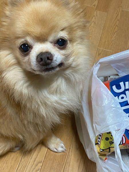 この子の犬種を教えてください、友人から引き取った愛犬で、チワワだと言われたのですが、ポメラニアンにも似ているような気がして、、調べてみてもピンとくるワンちゃんがいません、よろしければ教えてくださ...