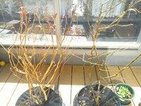 ブルーベリーの花芽が出てきました☆左のブルーシャワーは沢山の花芽がついていますが、右のティフブルーは少なめです。 こんなもんでしょうか? 3年生の苗を昨年に植えました。 成長具合は良いですか? 少し花芽を切り取った方が樹を強くできると伺いました。 3年生苗でも上の方を切った方が良いでしょうか?