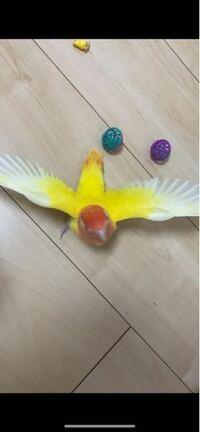 コザクラインコが羽を広げるのはなんの意味があるんですか?