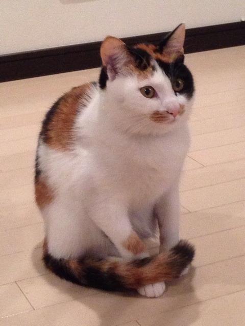 三毛猫は 女王様みたいな 性格をしてますか? (ΦωΦ)