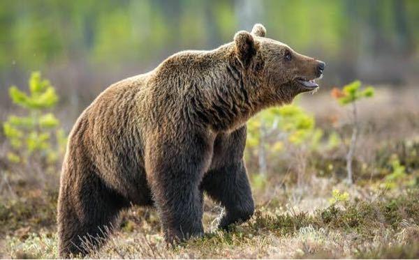 クマを倒す為の物理武器の中で一番強力な物はなんでしょうか?(成敗では無く殺傷の場合です) ナイフ、ナタ、クワ、刀、斧 一番強い物は何でしょうか 日本国内で手に入る物でお願いします。 現代で簡...