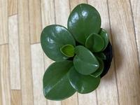 ペペロミアとしか書いてなかったのですが この写真の観葉植物は ペペロミアの何と言う品種かわかる方いたら 教えて下さい。