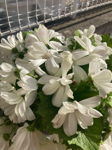 ホンダカーズ様から贈って頂いたお花なのですが、枯れてきてしまって困っています。 調べてもなんというお花かわからないため、育て方も分かりません;; 知っている方がいらしたら教えて下さると嬉しいで...