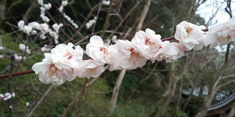 花(梅)の種類について。 写真のように枝にぴたーっとそしてずらーっと花が付くのはなんという種類または系統ですか? きりたんぽみたいな。 こういう咲き方をするピンク系のものが欲しいのです…