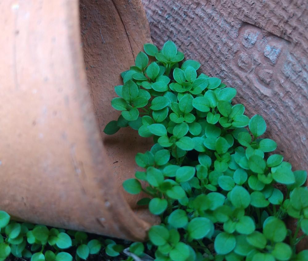 今日ふと置きっぱなしにしてあった鉢の中を覗いたら、小さな芽がたくさん出てました。 草なのかなと思いますが、何かわかる方見えますか?