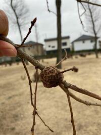 このコブみたいなものはなんですか? 昆虫の卵でしょうか?? それとも木にできる特別なコブ? 木の名前もわからないのですがご存知の方いらっしゃいましたらよろしくお願いします