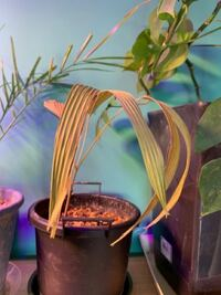 ヤシの苗について 2月の上旬ににネットでヤシの苗を購入して、植木鉢に植えていたのですがこの前の地震で植木鉢が倒れて中身が出てしまいました;( ˙꒳ ˙ ;):  その後植え直したのですが写真の状態になってしまったのですがもう枯れてしまったのでしょうか?   教えていただきたいです、お願い致します!