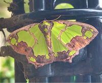 蛾の種類  写真の蛾について 種類が分かる方、ご教示ください。  昨日福岡県で撮影したものです。 アシブトチズモンアオシャクに似ていると思うのですが、いかがでしょうか。