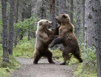 クマが喧嘩するとき直立するのはなぜですか。 直立する方が勝ちやすいのでしょうか。 クマとトラが戦う動画を見ても直立されるとトラも直立せざるを得ない感じでやり難そうでした。 個人的にすばやくトラ側が足に噛み付いて歩けなくしてしまえば勝負あった感じがするのですがそうでもないのでしょうか。