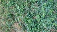 庭の雑草で、適量の除草剤を撒いてもなかなか枯れない種類があります。 この雑草の名前を教えていただけますか。 よろしくお願い致します。