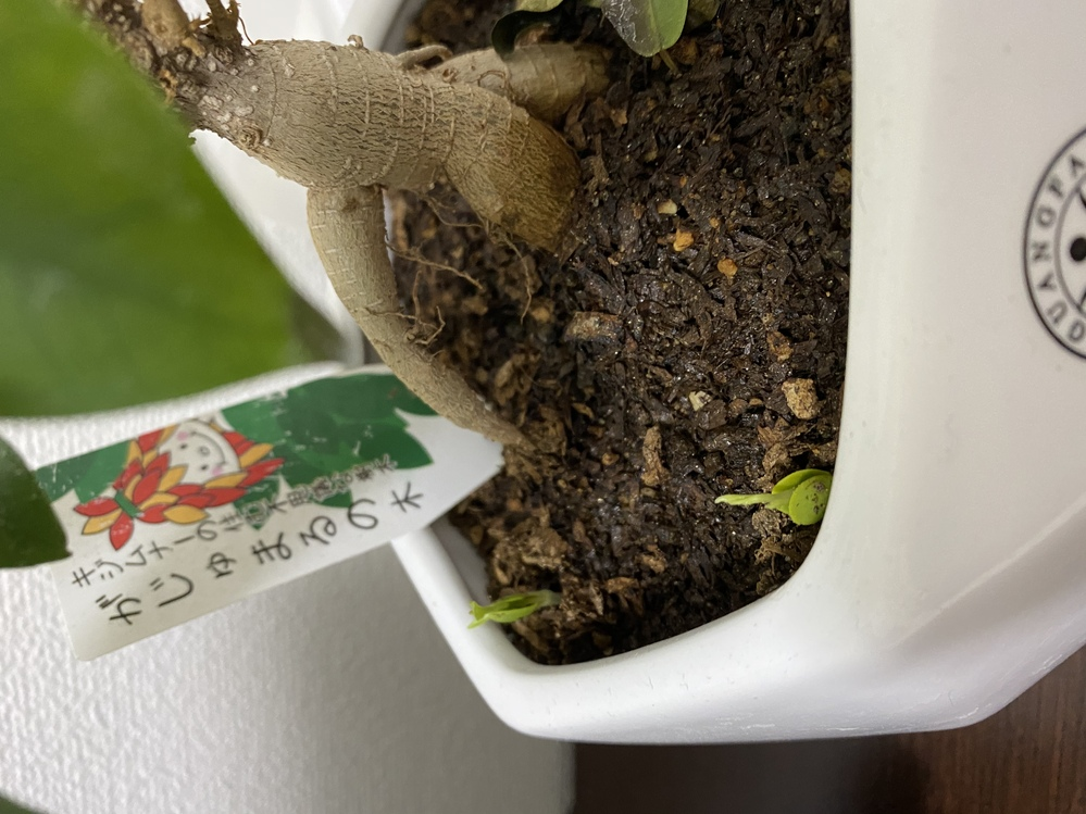 ガジュマルから謎の芽が2つも出てきました。 抜いた方がいいのでしょうか? 何の芽かご存知の方教えてください、、、