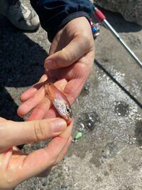 この魚の名前ご存知の方 教えていただけますか? 千葉でサビキ釣りをしていたら掛かりました。