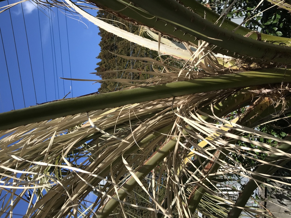 ココスヤシの木についてです。 先週から新芽の部分が画像のようになってきました。 これは木が枯れているのでしょうか? また、復活はしますか?