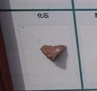 化石に詳しい方いらっしゃいましたら、教えてください。画像の化石の名前が分かる方いらっしゃいますか? わからなくて気になっています。宜しくお願い致します。