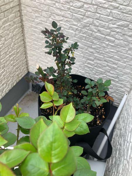 バラの葉の大きさについて教えて下さい。 初めて大苗を購入し、昨冬から育てています。 新芽の季節になり他のバラ達も新芽を出し始めているのですが、大苗のバラは他のバラに比べると葉が小さいです(生育環...