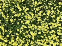 この黄色い可愛い花の名前を教えてください。  ちなみに千葉県市川市の外(民家の庭)で見かけました。