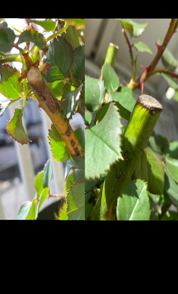 薔薇の枝にシワや変色が見られます。 写真左のように枝が黄色味を帯びていて所々黒くなっていたり、写真右のように太い枝の先に少しシワができてきました。 これは根腐れであったり何かの病気なのでしょうか? 今