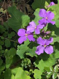 この花の名前わかる人いますか? あと食べられますか? よろしくお願いします!