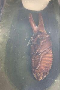 ヘラクレスオオカブトの蛹が人工蛹室の側面にピッタリ寄ってしまっていますが、問題ありませんか?