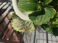 イチゴの栽培についてです。葉の表面や裏に白い粉のようなものが出来、うどんこ病を疑っています。少しでもうどんこ病がありそうな葉っぱや茎は切ってしまったほうがいいでしょうか?それか殺菌剤を使用したほうがい いでしょうか?どなたかアドバイスをお願いします。