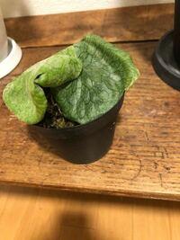 植物初心者です。ビカクシダについて、本日苗をもらったのですが、この状態でしたら板付けはまだ早いですか?苗で育てるとしたら土がかかっていないようなので購入した方がいいでしょうか?すみません、育て方を教え て頂きたいです。