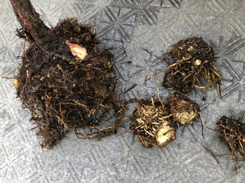バラの癌腫についての質問です。 カタバミが蔓延っていたので植え替えようと鉢から抜いてみて発見しました 初めて見たので、癌腫?カルス?とよく分かりません。 その塊から下方へ太めの根が出ているので、...