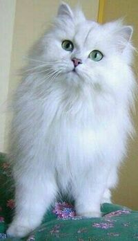 ペルシャ猫のチンチラしるばーは 好きですか?