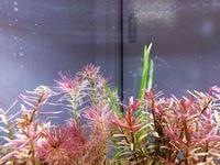 ガラス面や水草にくっついているアメーバ状の粒々の正体がわからず困っております。 だんだん広がってきて気持ち悪くなってきたので駆除して良ければ駆除したいです。 これの正体と駆除方法を教えてもらいたいです。 ・水流でゆれています。 ・10日前にちょっと発見し、徐々に増えました。 ・光合成の小さな気泡よりも小さい粒です。 ・生体はチェリーシュリンプのみ。 ・バクテリアは、バクテリア本舗の小次郎ex...
