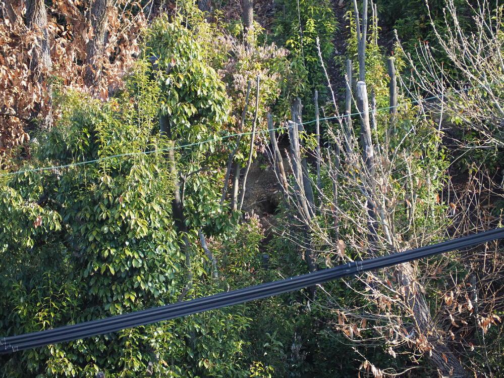 我が家のベランダから見える雑木林の斜面に(ピンポイントでしか見えないと思われます)見つけました。推定径20㎝くらいの穴です。 昨年秋ごろに斜面の樹木の剪定(伐採)がされた直後は無かった穴だと思い...