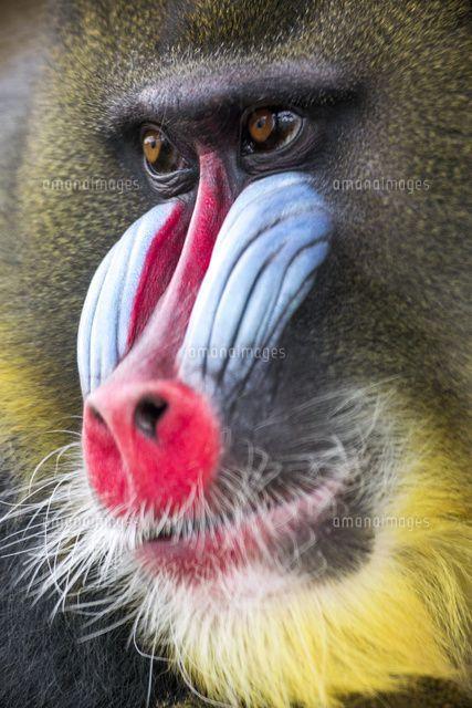 マンドリルのこの鼻のとこの奇抜な色と形は何の意味があるのでしょうか。