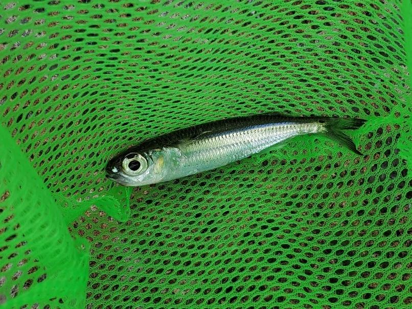 この魚は何ですか? 沖縄県北部でとりました! 一匹だけテトラポットあたりをふらふら泳いでたので網ですくいました。 10cmくらいです。
